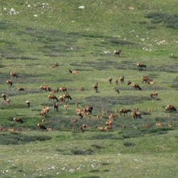 Elk on the West Hillside