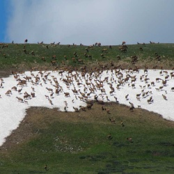 Elk on West Ridgeline